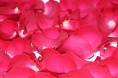 Pink rose petals are scattered on the table. Texture of rose petals.