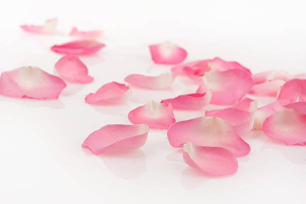 Pink rose petals on white picture id182414082?b=1&k=6&m=182414082&s=612x612&w=0&h=w3fvapwnhw1dwgvglwhgqr1arearyt9 fg8h9kgpdlm=