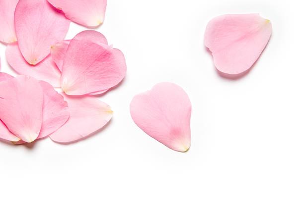 핑크 장미 꽃잎 - 꽃잎 뉴스 사진 이미지