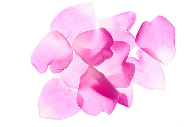 Pink rose petals picture id184293816?b=1&k=6&m=184293816&s=612x612&w=0&h=2ywo6mc12 wfivnhfj0fedgwovamorkjz u0bz49a4k=