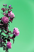 Pink roses in front of green color background