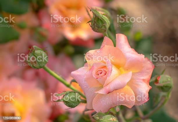 Pink rose picture id1254955830?b=1&k=6&m=1254955830&s=612x612&h=shx1zdh19aw  gn2 tou orzcv0t1 tcrzudvnkyx2i=