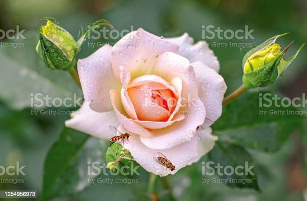 Pink rose picture id1254956973?b=1&k=6&m=1254956973&s=612x612&h=z1 0 4haltm5fgh5acgzfd9q5rpvuhcms8n fhwbbni=