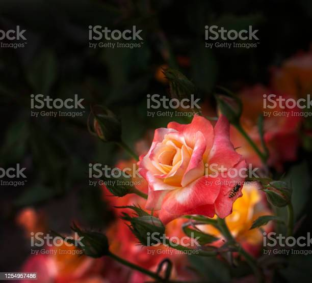 Pink rose picture id1254957486?b=1&k=6&m=1254957486&s=612x612&h=nuca jpkw6uxfqllylfimyi6p peytrpmporcgc0nli=