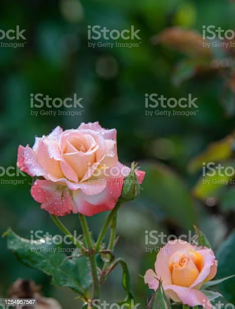 Pink rose picture id1254957567?b=1&k=6&m=1254957567&s=612x612&h=hy3tetjmivvx6fzeostfbl3 sn4lgvd4m4ab ojpehq=