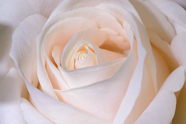 Pink rose picture id157186562?b=1&k=6&m=157186562&s=612x612&w=0&h=h30e54zkrrnagv0ofp31 8kx6fd8tqczuwj26vca1bm=