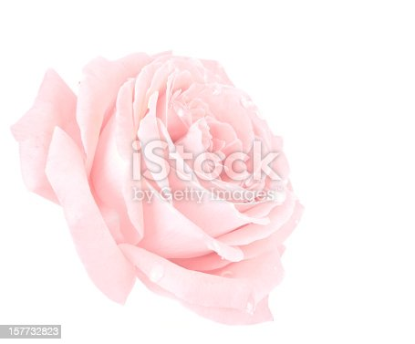 Flowers: Pink Rose