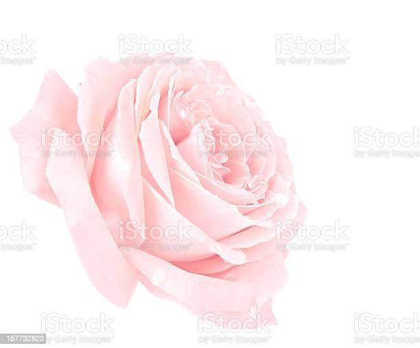 Pink rose picture id157732823?b=1&k=6&m=157732823&s=612x612&h=pspulkpk1tbdn8pmhbad9cvm5wkiprfifdj lboatbc=