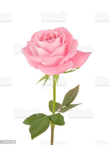 Pink rose picture id175451180?b=1&k=6&m=175451180&s=612x612&h=jsd6fa7mnnic48p4trpkxvoq3hbn1cw7qaarl3l2sqo=