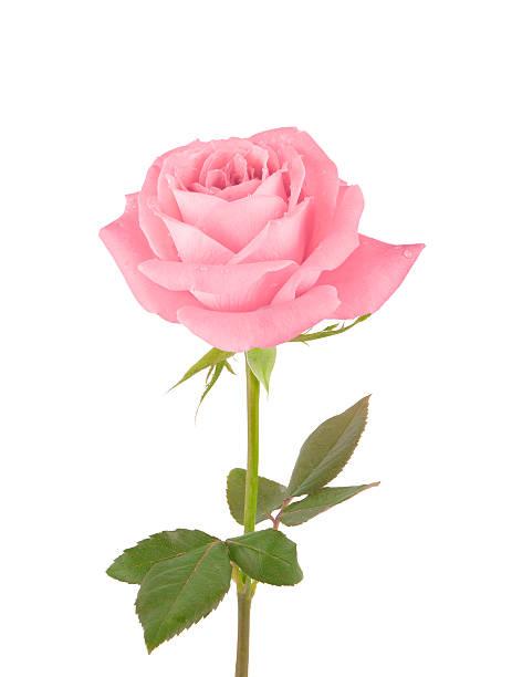 Pink rose picture id175451180?b=1&k=6&m=175451180&s=612x612&w=0&h=i8j0bnhcsfjhsrebpghn7 m38cjzglnketjfbgfu94c=