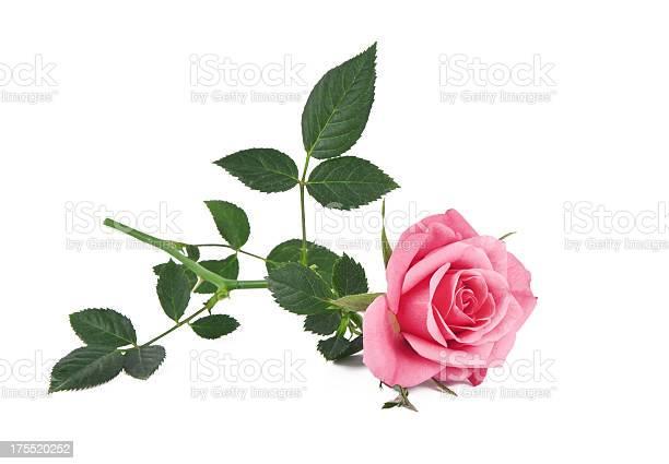 Pink rose picture id175520252?b=1&k=6&m=175520252&s=612x612&h=qd5c  hnfhs qvp7ql3tstcvjdodrpsqljswwxhonhw=