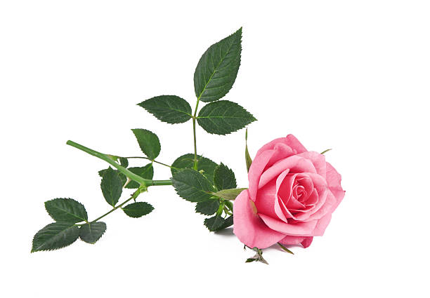 Pink rose picture id175520252?b=1&k=6&m=175520252&s=612x612&w=0&h=b5wfzb hqf wvskjn4lrwbmlcx3d9ktlcqubt  fhdq=