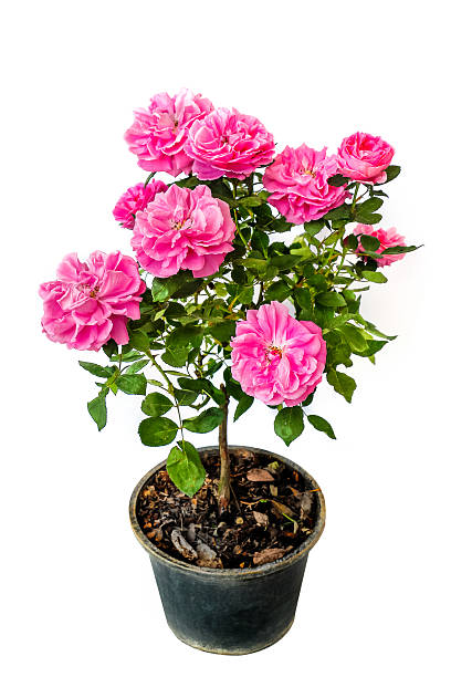 Pink rose picture id469615511?b=1&k=6&m=469615511&s=612x612&w=0&h=lb9rm4te1mvpkxcld jcmtwznh pqda6dayssoliif8=