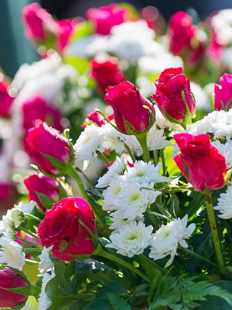 pink rose – Foto