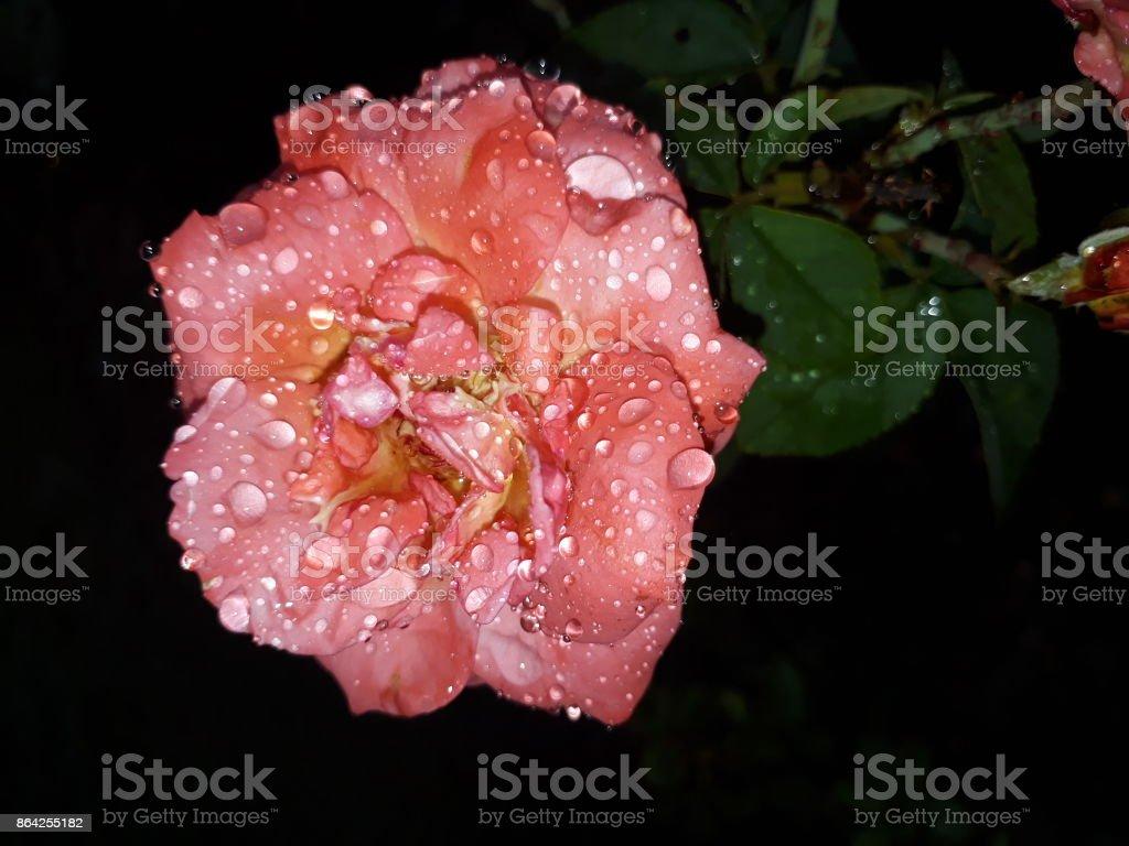 Pink Rose. royalty-free stock photo