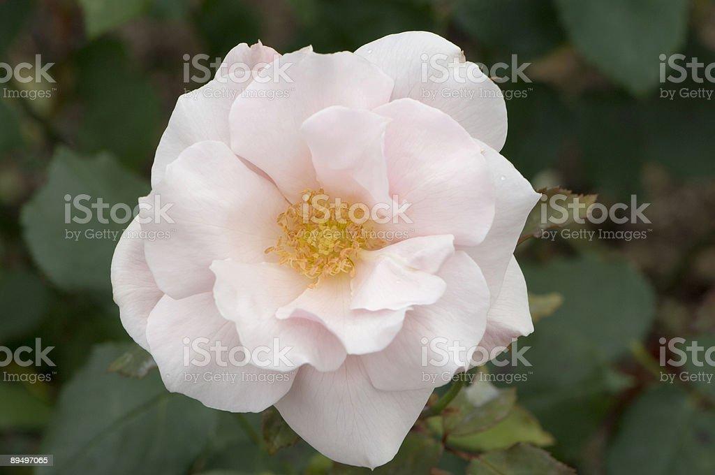 Pink rose royaltyfri bildbanksbilder