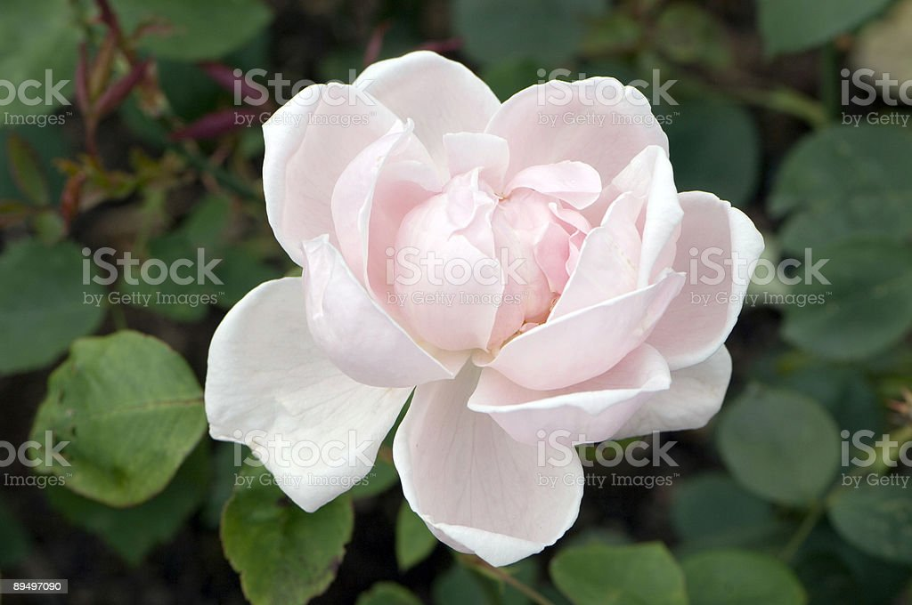 Rosa foto stock royalty-free