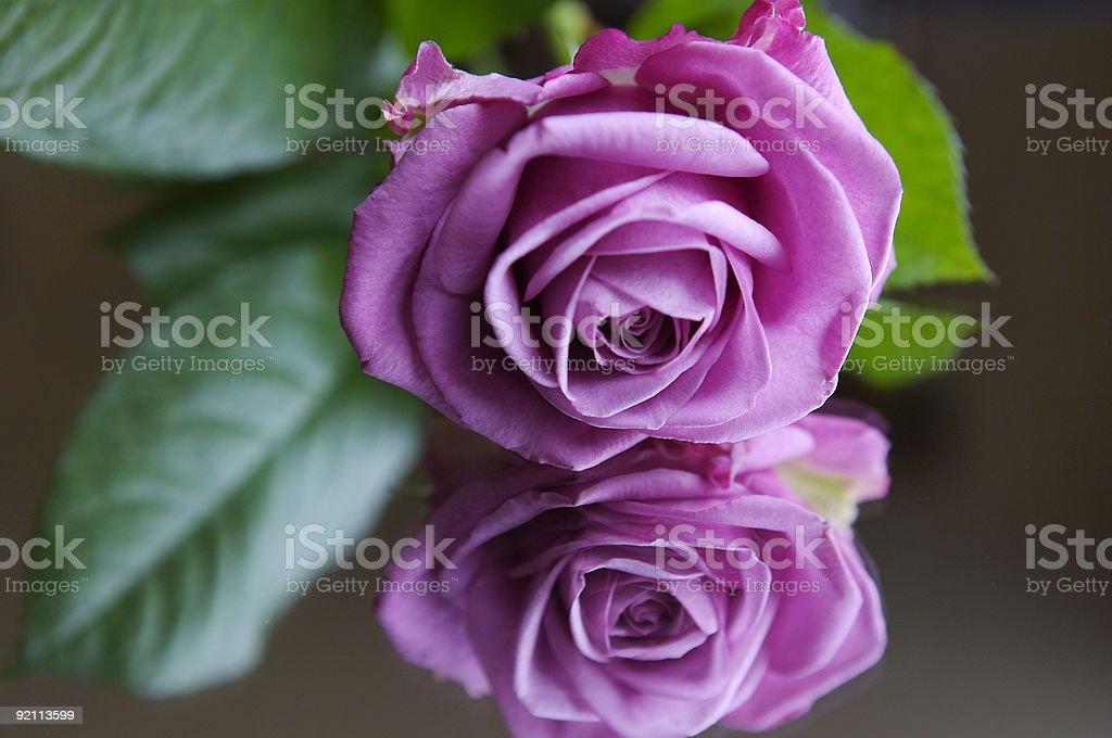 Pink Rose(s) royalty-free stock photo