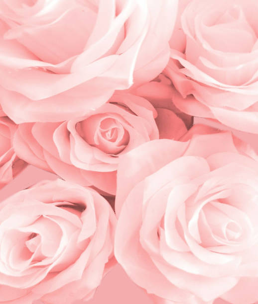 Pink rose Pink rose flower on background rose flower stock pictures, royalty-free photos & images