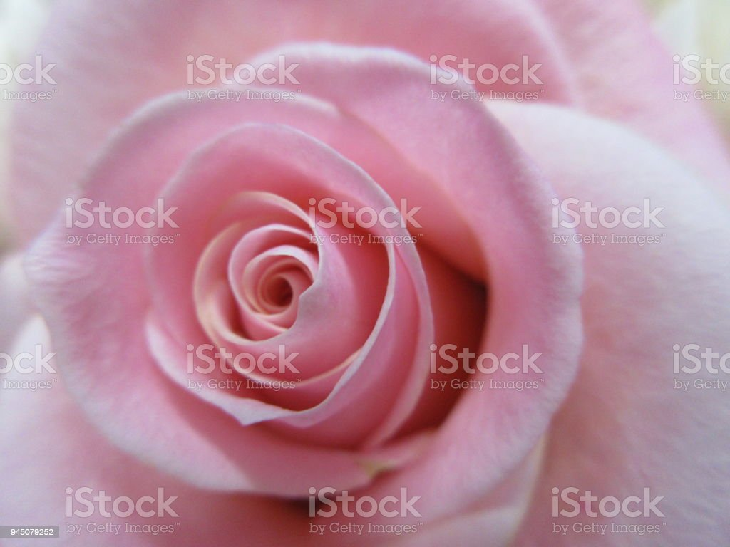 핑크 로즈 스톡 사진
