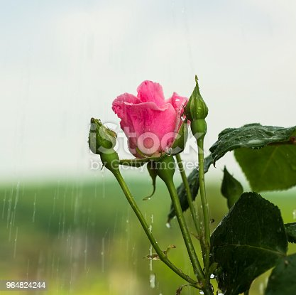 Pink Rose Stock Photo & More Pictures of Art