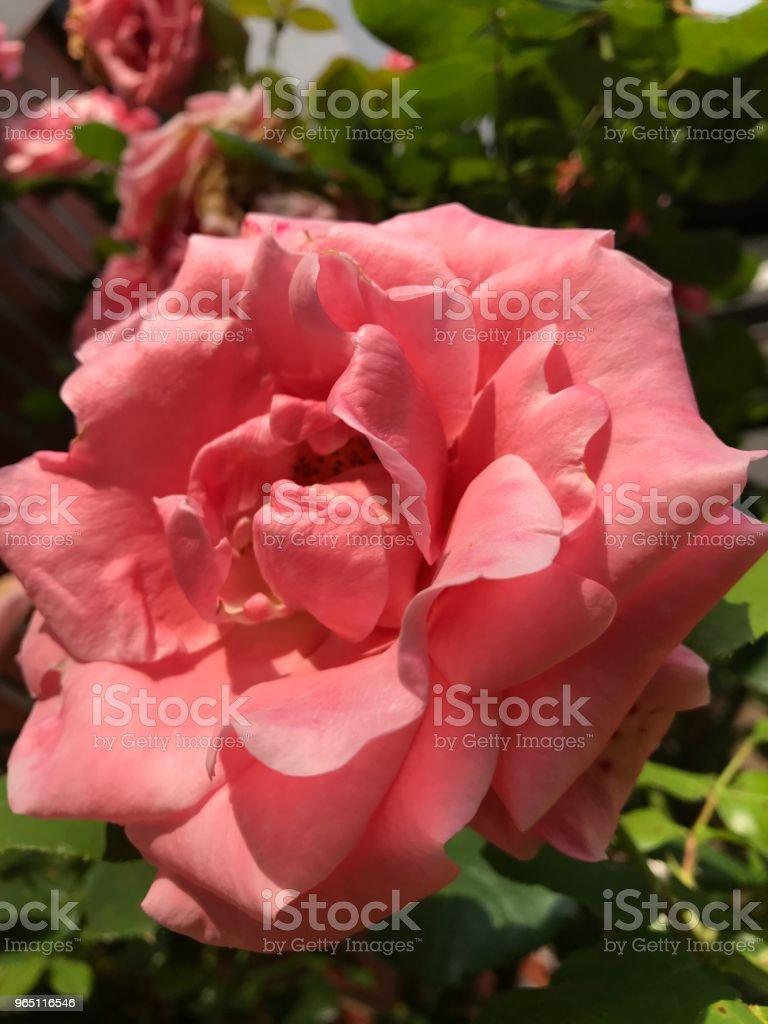 Pink rose zbiór zdjęć royalty-free