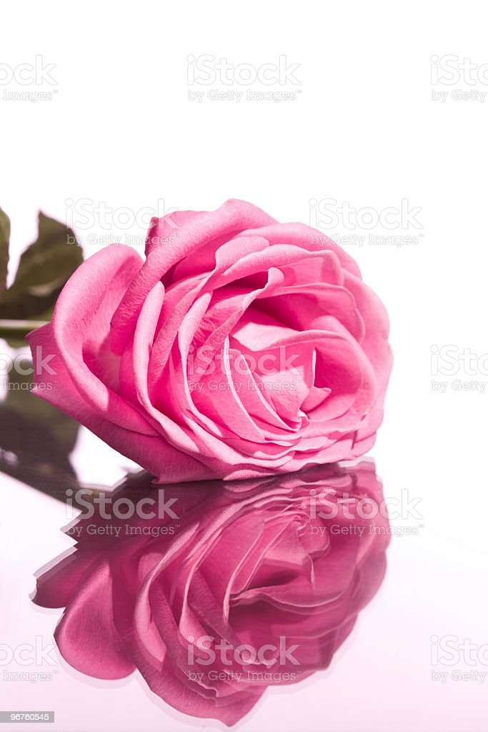 Pink rose royalty-free stock photo
