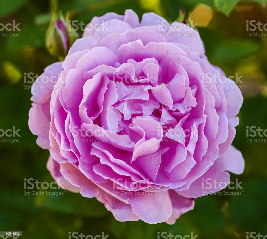 Pink rose portrait royalty-free stock photo