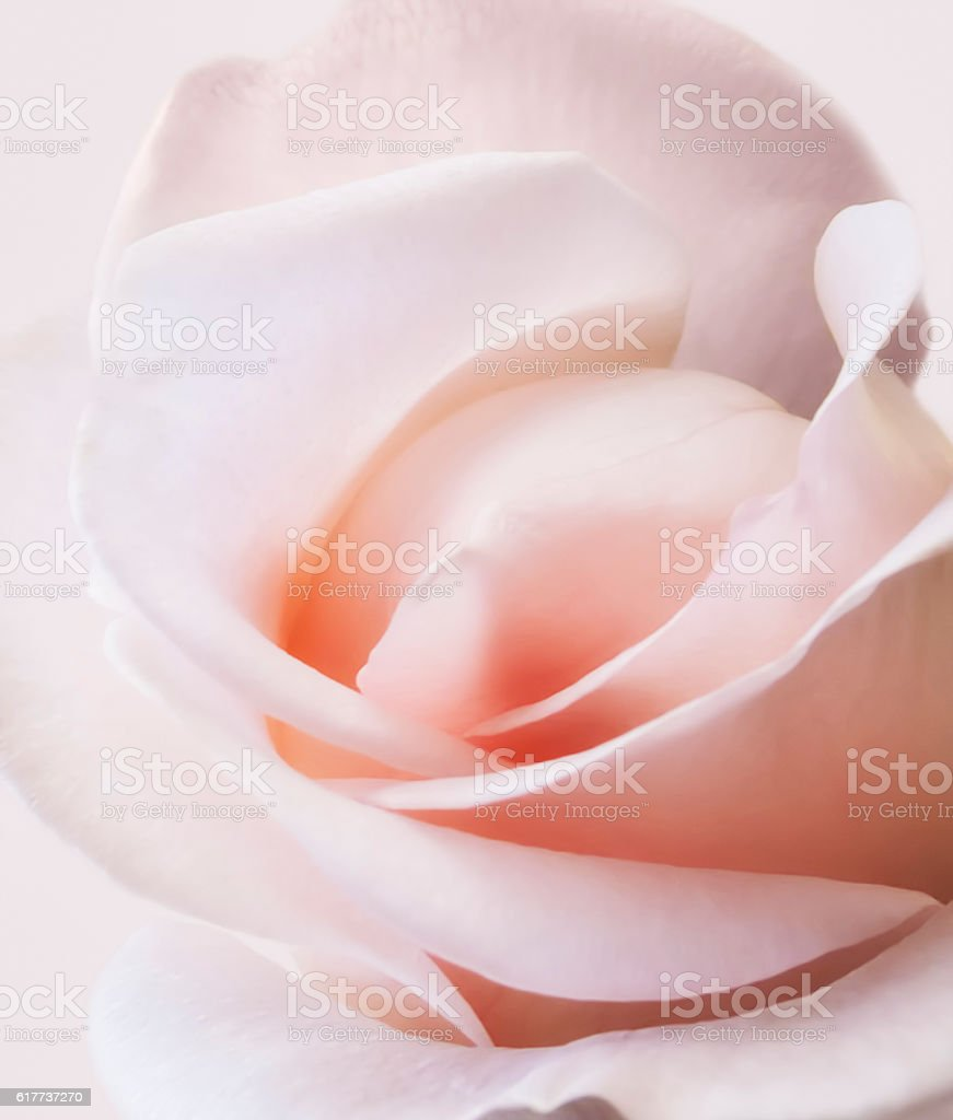 pink rose soft color close up stock photo
