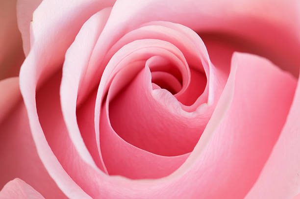Pink Rose Swirls Full Frame Close Up stock photo