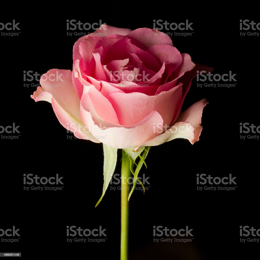 Pink rose symbolic of love and compassion stock photo