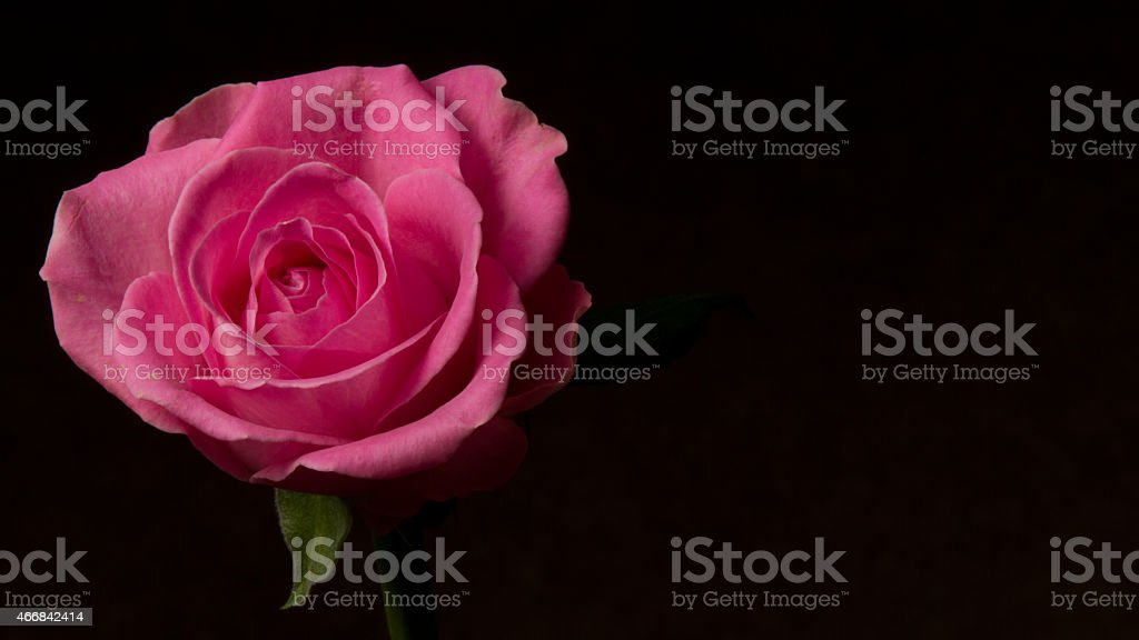 Pink Rose Symbolic Of Love And Compassion Stock Photo Istock
