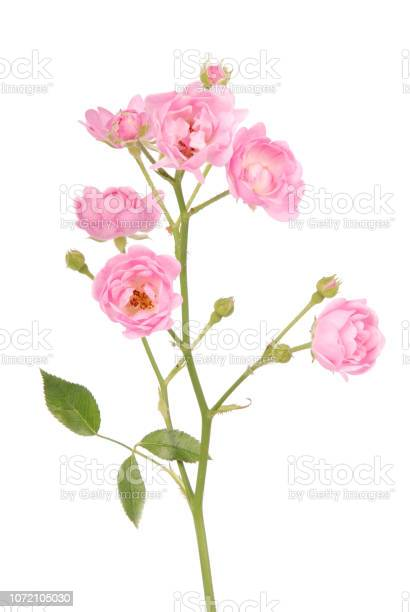 Pink rose with button picture id1072105030?b=1&k=6&m=1072105030&s=612x612&h=dbhtdr5piubp8wlmbffapiv 8hebykbz4nquavay6fw=