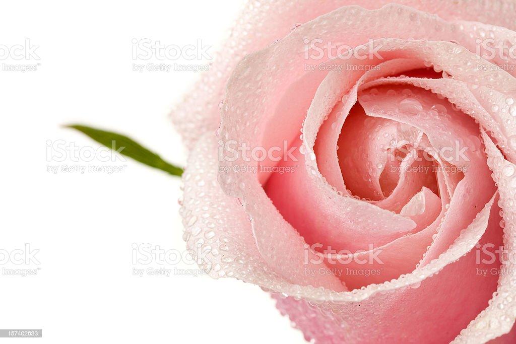 Rosa rosas con gotas de rocío y de hoja verde - foto de stock