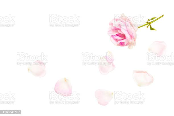 Pink rose with fallen petals isolated on white background picture id1160841597?b=1&k=6&m=1160841597&s=612x612&h=burmbrat7p3gur47nbrich59by7is 0rxz8cd4odenw=