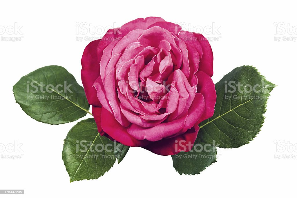 Pink rose with leaves stock photo