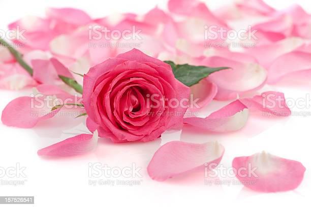 Pink rose with petals on white picture id157526541?b=1&k=6&m=157526541&s=612x612&h=vejyszoypvmgjnuc un27uphaetkeefskcewv2ldugq=