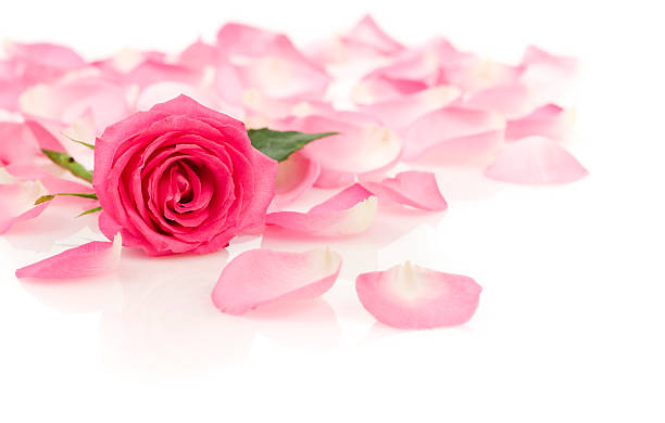 Pink rose with petals picture id173697725?b=1&k=6&m=173697725&s=612x612&w=0&h=xhwr0w7wbie 6y9me0rpfkoqri49nvepws3l9d ol9g=