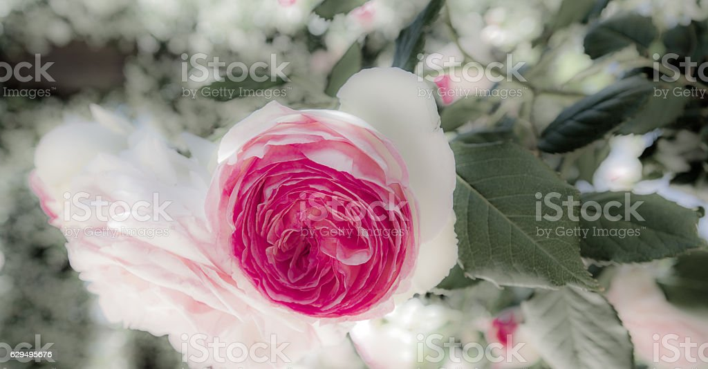 Pink rose with soft white petals stock photo