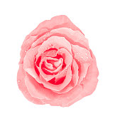 Pink rose with water drops isolated on white background.