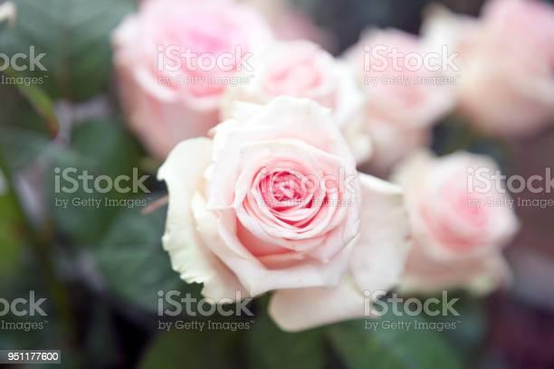 Pink roseflower picture id951177600?b=1&k=6&m=951177600&s=612x612&h=b0kcqrlxzfbo1jeaum0z0x 15wdzzyc2ynzclaxwbsy=
