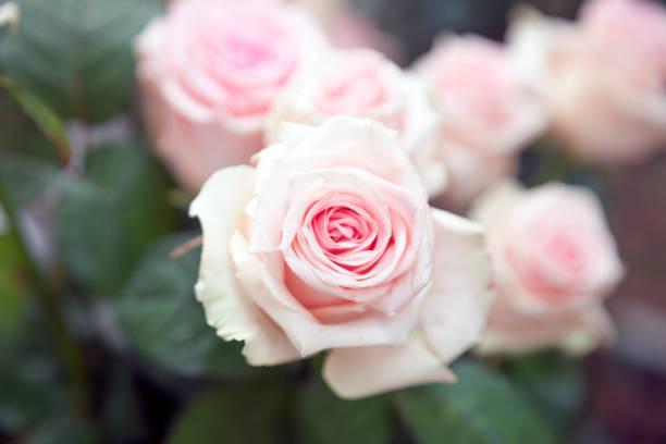 Pink roseflower picture id951177600?b=1&k=6&m=951177600&s=612x612&w=0&h= v gvgzbo8fdvm9kzw82tqgtwsyuq2nuw bpucgall8=