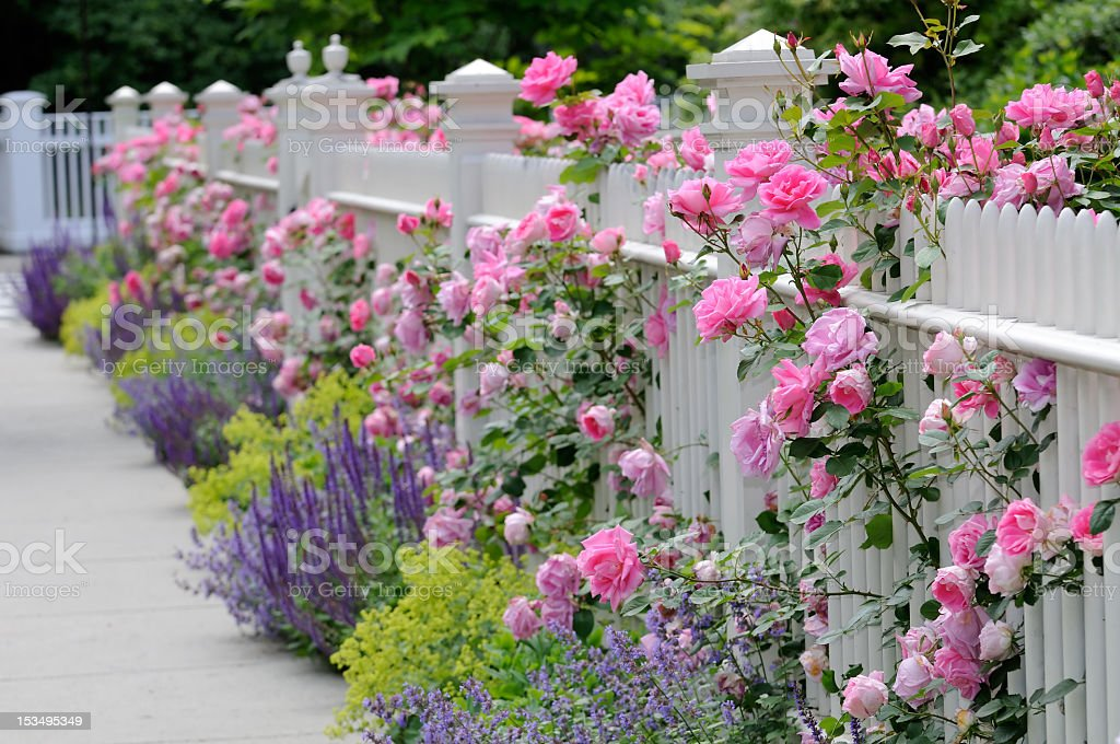 Pink roses and lavender next to a white fence stock photo