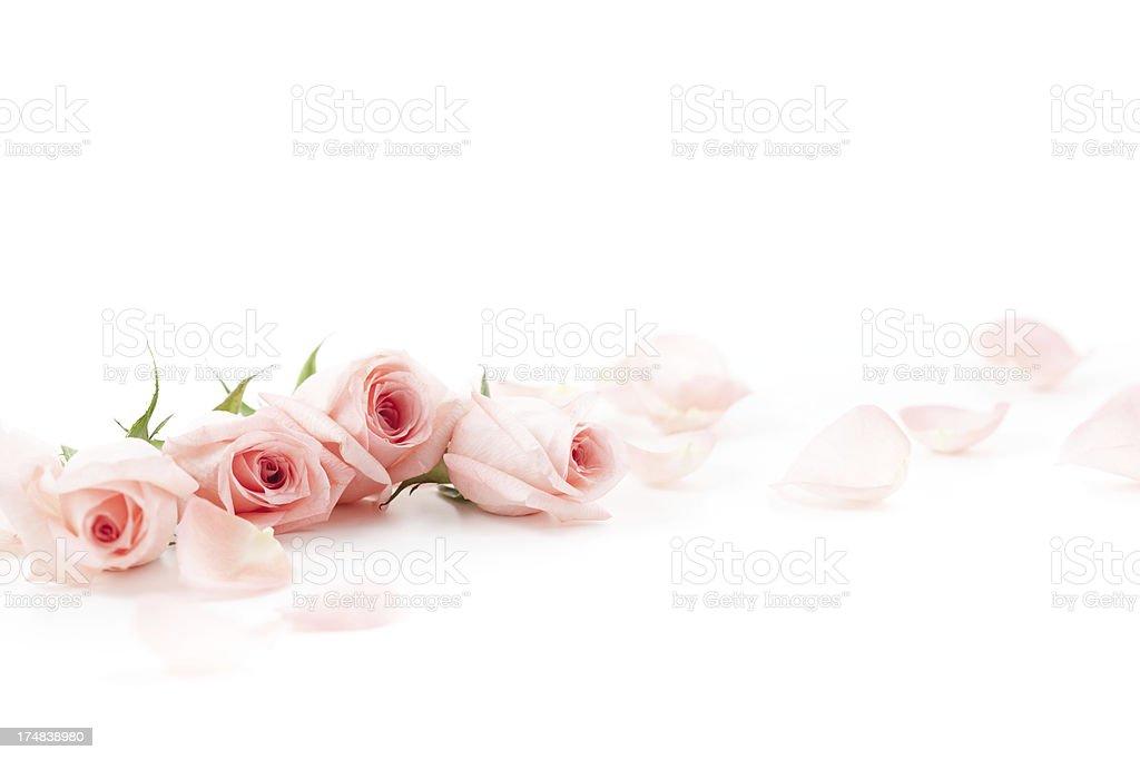 Pink Roses and petals royalty-free stock photo