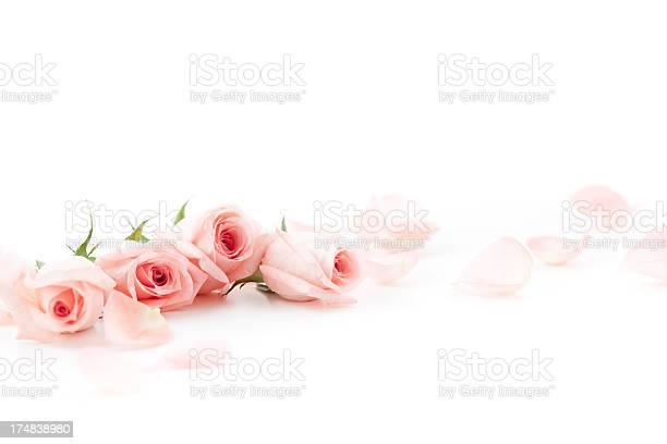Pink roses and petals picture id174838980?b=1&k=6&m=174838980&s=612x612&h=tq9ege1sx7af6qopjhhecbp7yoe008h5qlpxzvu9av8=
