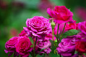 Pink roses blossom on green blurred background close up, beautiful red rose bunch macro, growing purple flowers in bloom on flowerbad, elegant floral arrangement, romantic holiday greeting card design