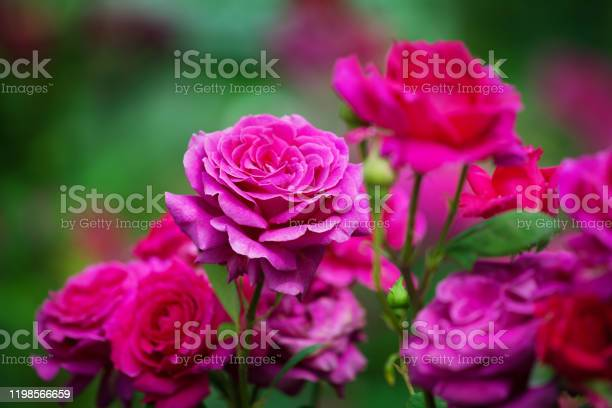 Pink roses blossom on green blurred background close up beautiful red picture id1198566659?b=1&k=6&m=1198566659&s=612x612&h=inh0vy7rtlyfswqqu0n18bpaoaw78yoa30io72sasfa=