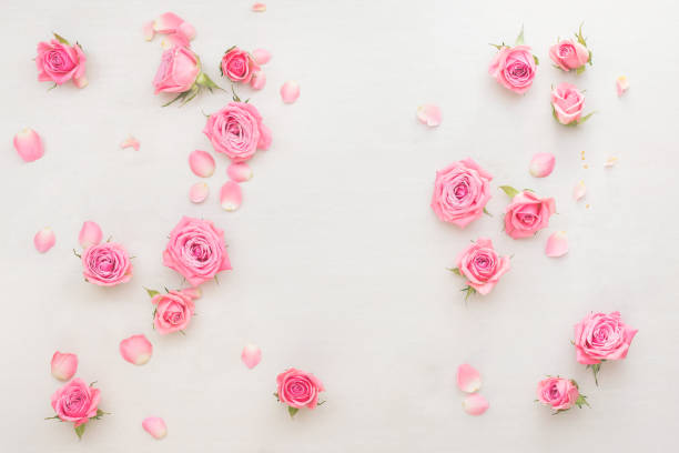 Pink roses buds and petals scattered on white background stock photo