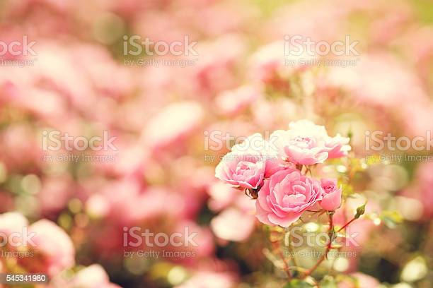 Pink roses bushes picture id545341980?b=1&k=6&m=545341980&s=612x612&h=2qzav26yah0blhihkenrcoz rpaqehrzstr2qv85t6u=