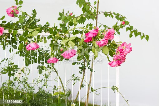 A white trellis supporting a Pink rose vine.